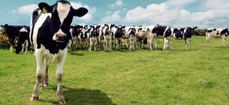 Mayor capacidad de pago de los exportadores de lácteos, ¿cuánto y cuándo sube el precio de la leche cruda?