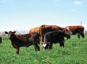 El regreso de Argentina al mercado mundial de carne bovina